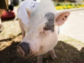 ungeschleimte Schweinedärme