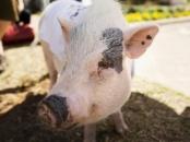 Schweinedärme getrocknet